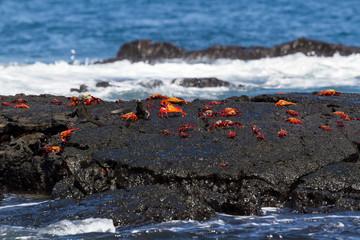 Sally Lightfoot Crabs (Grapsus grapsus) on a lava rock, Galapagos