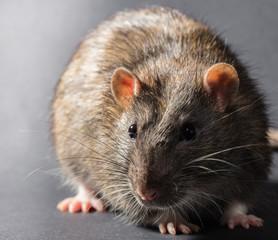 animal gray rat