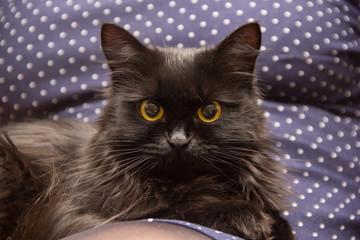 Close-up of a black cat, looking at camera