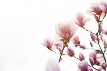 Beautiful magnolia flowers in spring ,a floral background, copyspace.