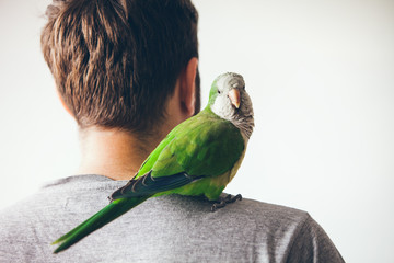 Monk parakeet is looking at camera with curiosity expression. Quaker parrot is sitting on mans shoulder at home.