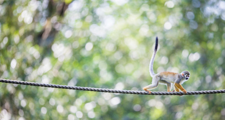 Common Squirrel Monkey (Saimiri sciureus; shallow DOF)