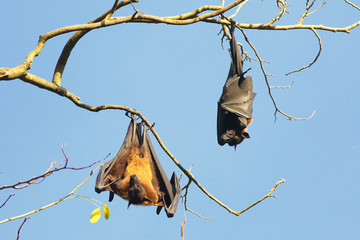 Two Indian flying fox bats, Pteropus, giganteus hanging on branch