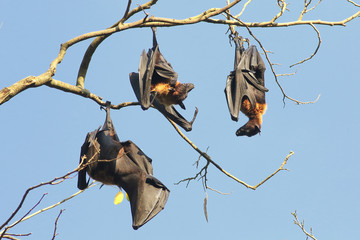 Three Indian flying fox bats, Pteropus, giganteus hanging on branch