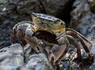 Crab Pauses While Scurrying Across Rocks