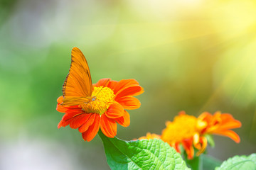 Orange butterfly on a mexican sunflower