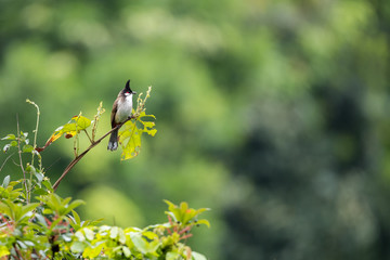 Red whiskered Bulbul perching on plants with beautiful green background