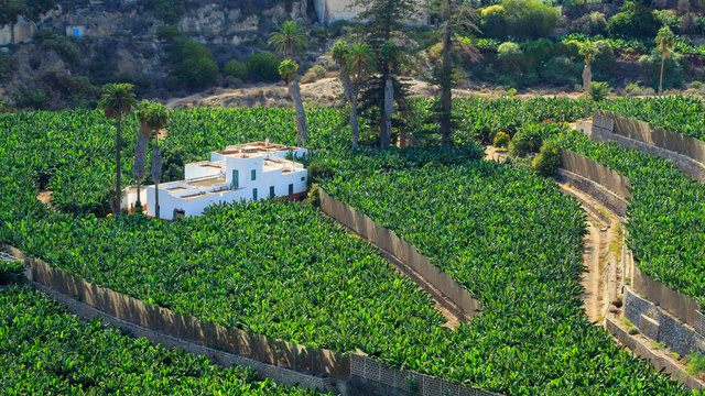 View from above on bananas plantation in Las Palmas, the capital city of Gran Canaria Island.
