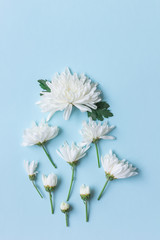 white chrysanthemum on blue background with copy space for text in top view