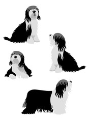 Vector illustration of Bearded Collie in different poses isolated on white background.