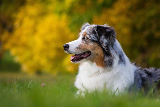 Australian shepherd dog outside in beautiful colorful autumn.