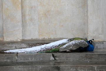 A peacock covered in snow sits in Lazienki Park in Warsaw