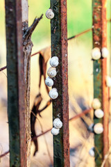 Snails on an iron fence
