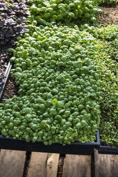 Basil Microgreens growing in a greenhouse