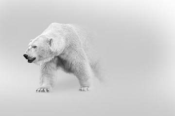 Zelfklevend Fotobehang Ijsbeer polar bear walking out of the shadow into the light digital wildlife art white edition