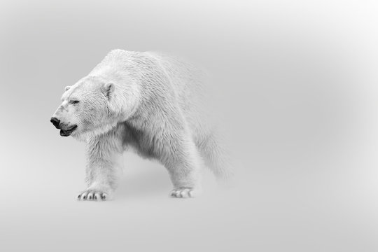 polar bear walking out of the shadow into the light digital wildlife art white edition