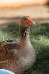 Large goose with orange bill