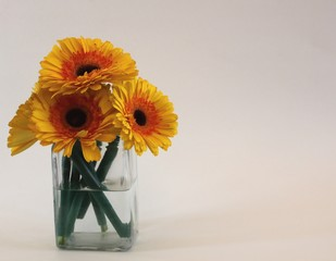 Bunch of yellow Gerber daisies in a glass vase isolated on a white background with copy space on the right