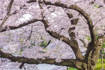 Cherry Blossom Sakura in Chidorigafuchi park, Tokyo, Japan