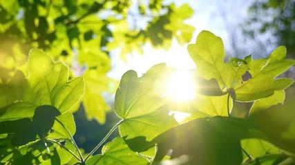 Wall Mural - Die Sonne scheint durch grüne Blätter, die sich im Wind bewegen