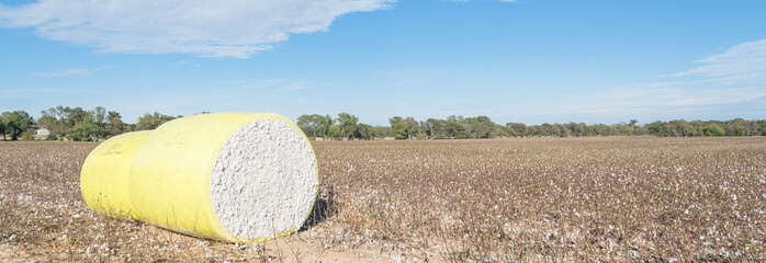 Panorama row of round bales of harvested fluffy cotton wrapped in yellow plastic under cloud blue sky. Captured cat cotton field in Northeast Texas. Agriculture background