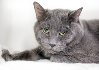A gray domestic shorthair cat with a grumpy expression