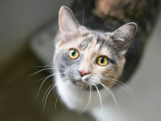 A Dilute Calico domestic shorthair cat with yellow eyes looking up at the camera