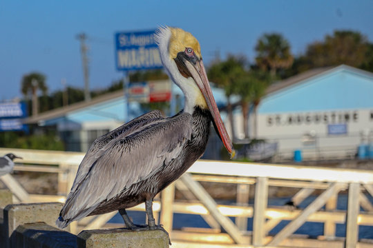 the colorful pelican