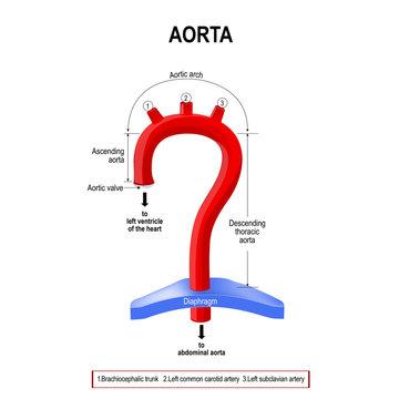 Schematic view of the aorta segments