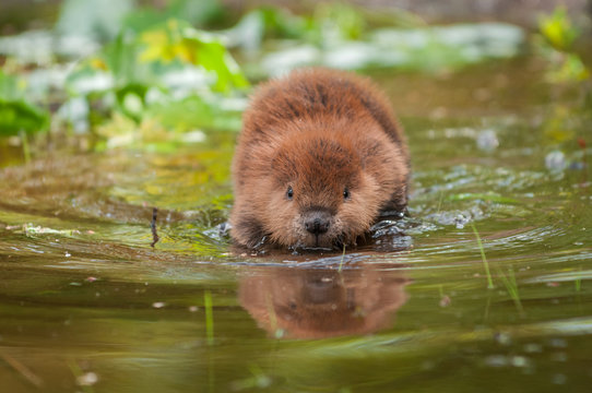 North American Beaver (Castor canadensis) Reflected
