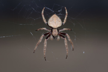 Patient Orb Web Spider sitting on it's web