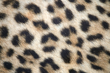 Leopard print close up