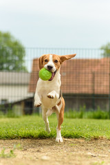 Dog run beagle jumping fun