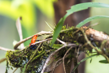 strawberry or blue jeans poison dart frog in green grass ,
