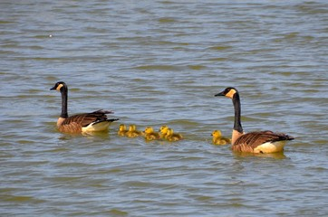 Canada Goose and Gosslings