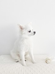 Little white dog interested looking to the side