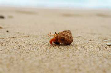 Hermit crab on the sandy beach