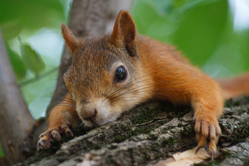Cute red squirrel on the tree trunk
