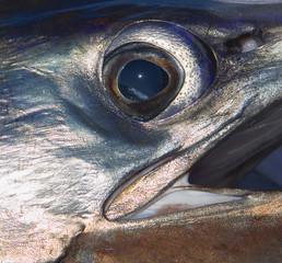 Pacific Sailfish Closeup