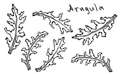 Set of Arugula Rucola, Rocket Salad Fresh Green Leaves. Aromatic Herb. Fresh Cooking Salad Ingredient. Hand Drawn Illustration. Savoyar Doodle Style.