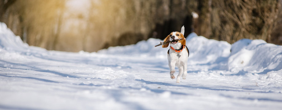 Beagle dog runs and plays in the winter forest on a Sunny frosty day