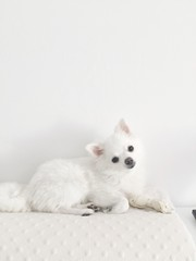 The little white dog looks smart look