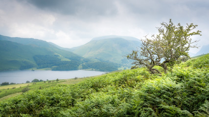 Summer Lake District view with Crummock Water and Hawthorn Tree