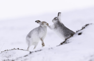 Boxing mountain hares.  White mountain hare sitting on snow in the cairngorms of Scotland. These are wild mountain hares and are native to the British Isles.