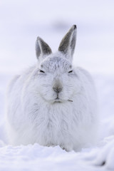 White mountain hare sitting on snow in the cairngorms of Scotland. These are wild mountain hares and are native to the British Isles.