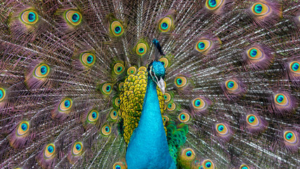 Close up, headshoot, of a beautiful Peafowl.