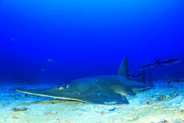 Giant Guitarfish (Shovelnose Ray) Guitar shark
