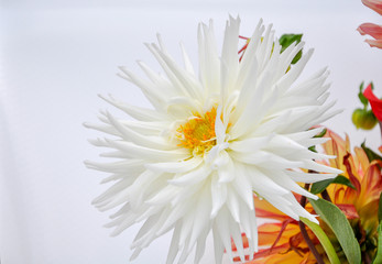 Very beautiful Dahlia white flower in white background