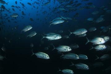 Trevally fish jack fish