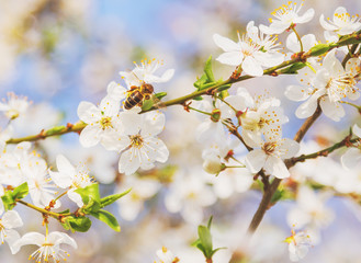 Bee in White cherry blossoms flowers branch Spring abstract